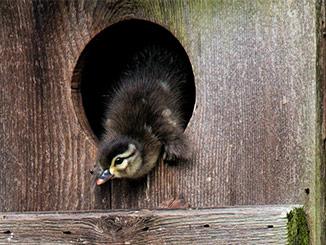 Build A Wood Duck Box
