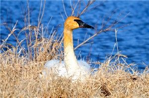 Ohio's story of the return of the Trumpeter Swan
