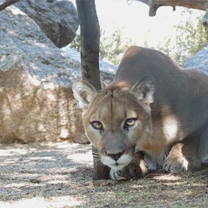 Do you have advice for being safe in mountain lion country?