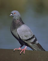 Pigeon (Rock Dove or Rock Pigeon)