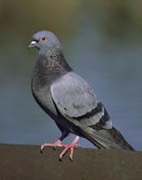 Pigeon (Rock Dove or Rock Pigeon)