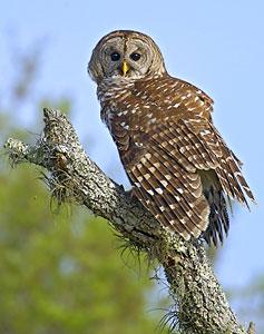Beak of the Week: Barred Owl