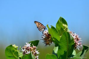 BUTTERFLY EMERGENCE AND MIGRATION