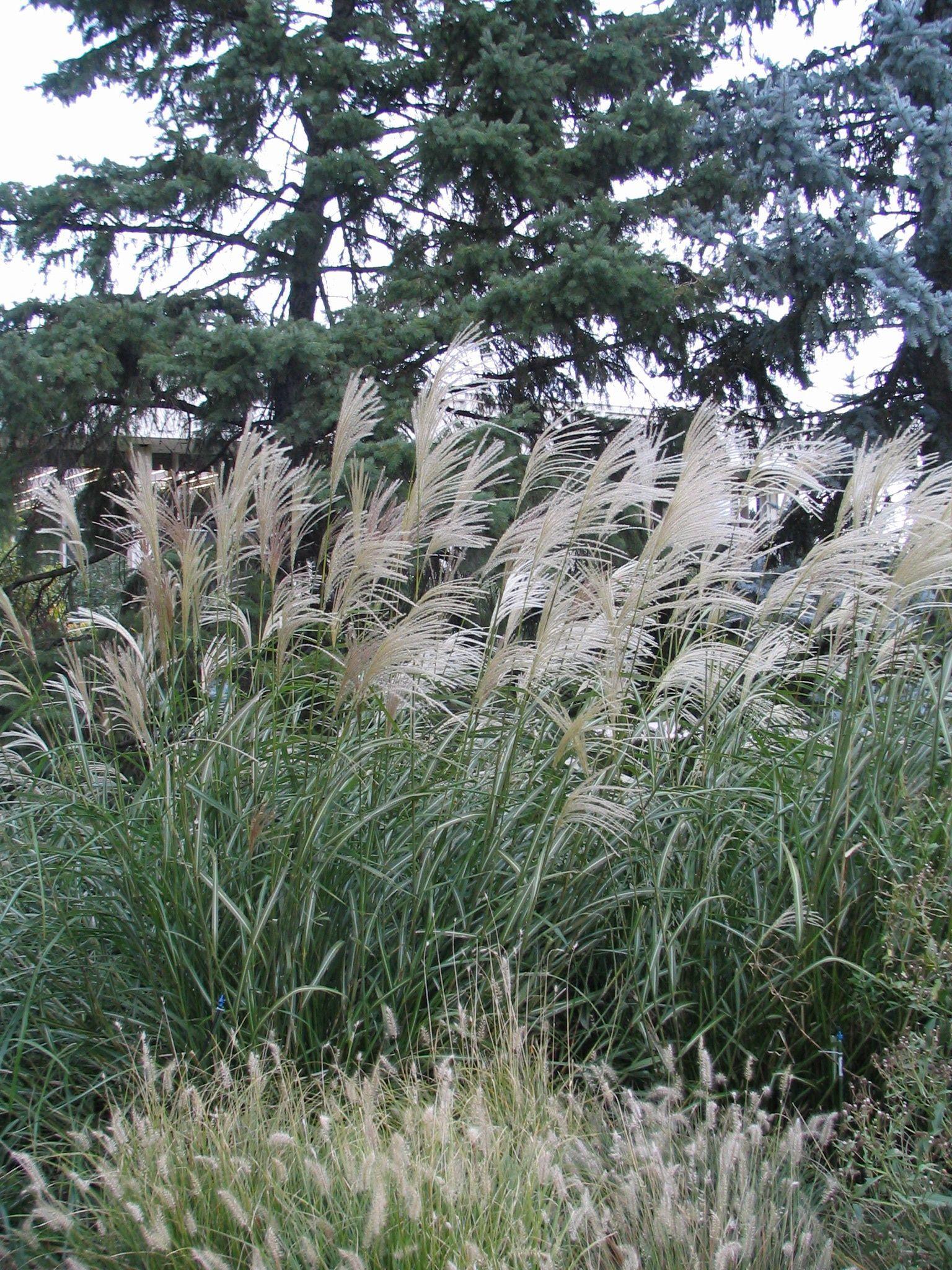 Morning Light Maiden Grass, Miscanthus sinensis 'Morning Light'