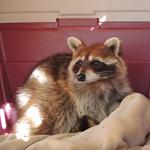 Freebird the Raccoon