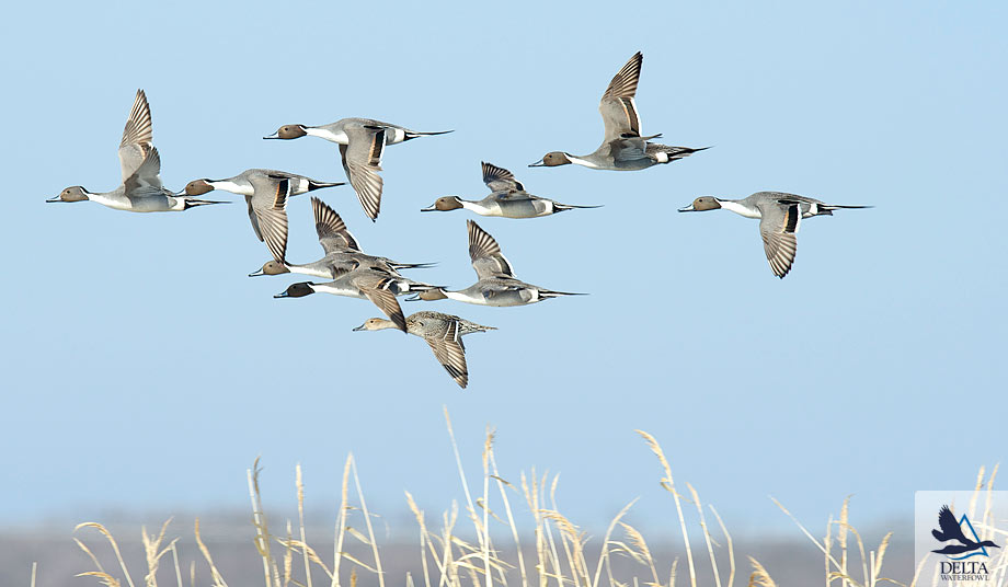Delta Waterfowl Wallpaper Northern pintail