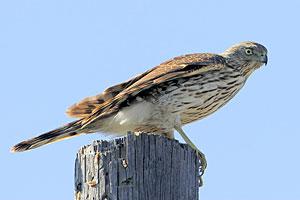 Sharp-shinned Hawk (immature)