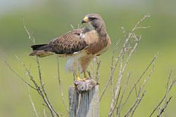 Beak of the Week: Swainson's Hawk
