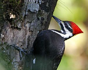 Pileated Woodpecker (female)
