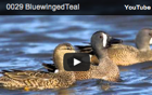 Blue-winged Teal Specifics