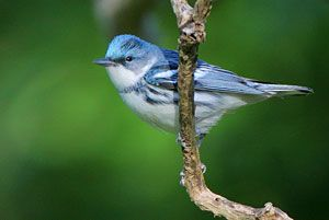 Beak of the Week: Cerulean Warbler