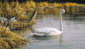 Spring Thaw - Trumpeter Swan, $40