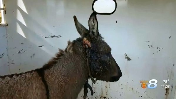 Horse Haven worker, rescued donkey, heal together