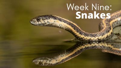 Audubon at Home: Week Nine - Snakes