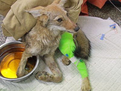Leg hold trap coyote rehabilitation Southwest Wildlife Conservation Center Scottsdale, Arizona
