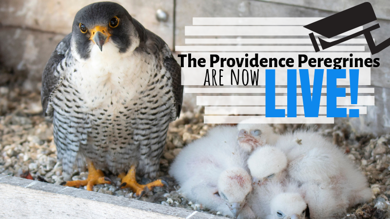 Providence Peregrine Webcam