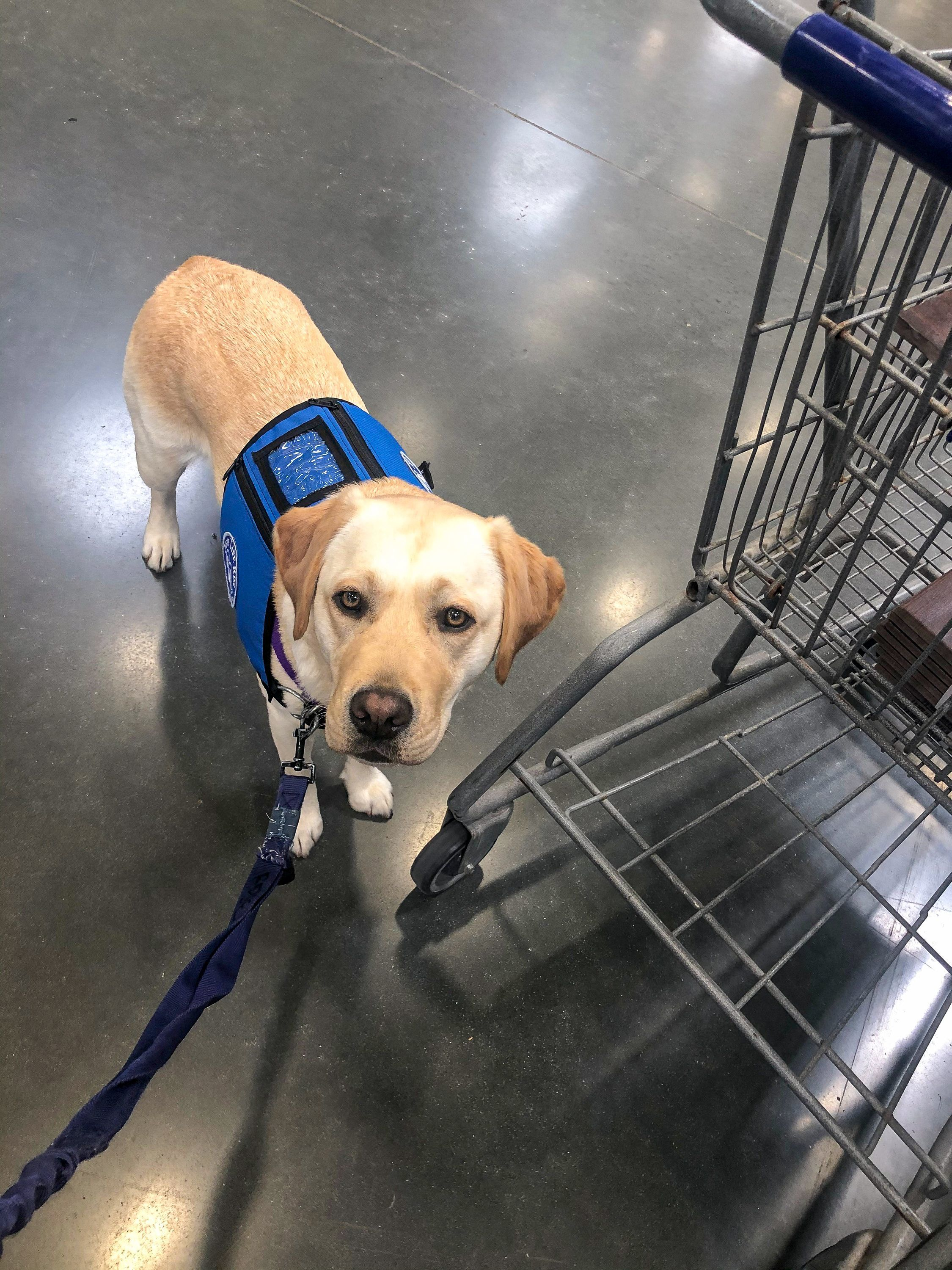 What Traits Can Qualify or Disqualify a Dog from Becoming a Service Dog?