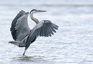 Beak of the Week: Great Blue Heron