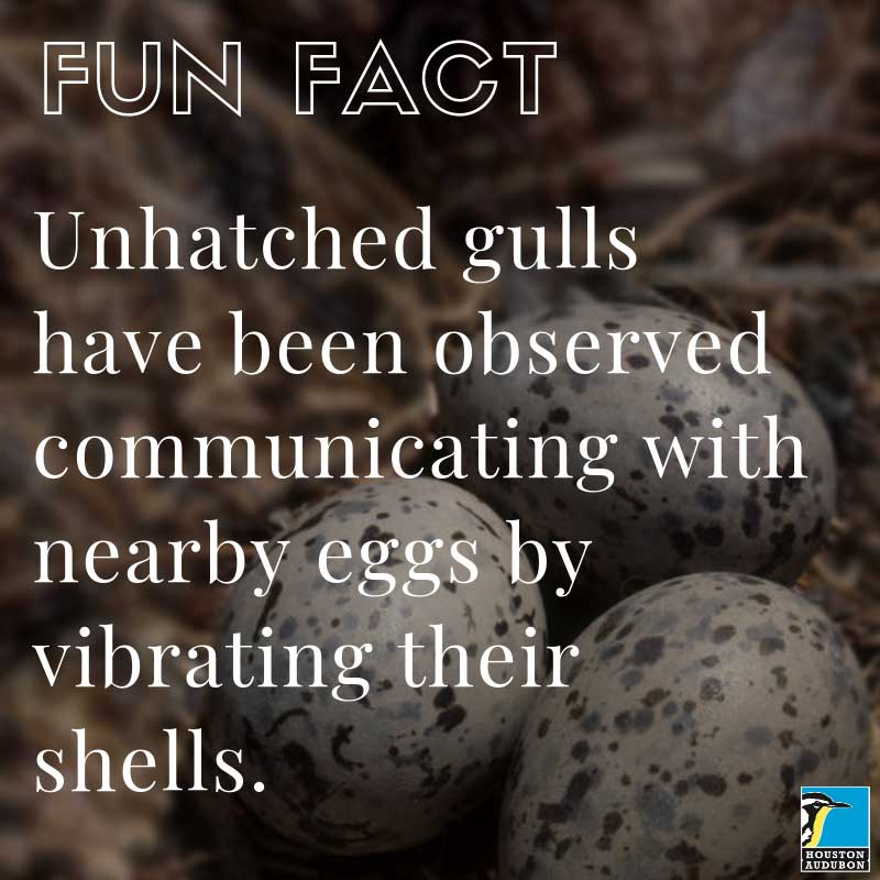 Unhatched gull eggs fun fact