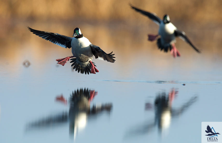 Delta Waterfowl Wallpaper Bufflehead
