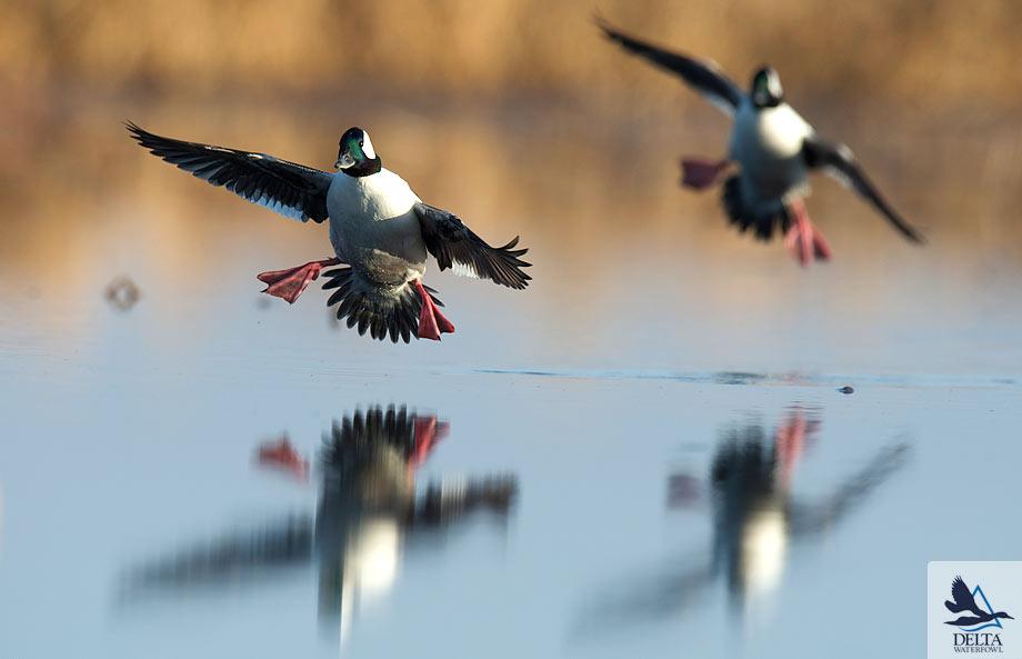 Delta Waterfowl Wallpaper Bufflehead