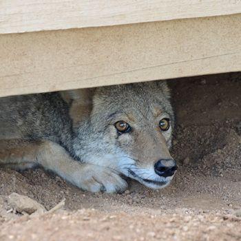 Bob Barker coyote Southwest Wildlife sanctuary