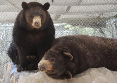 Black bears sanctuary Southwest Wildlife