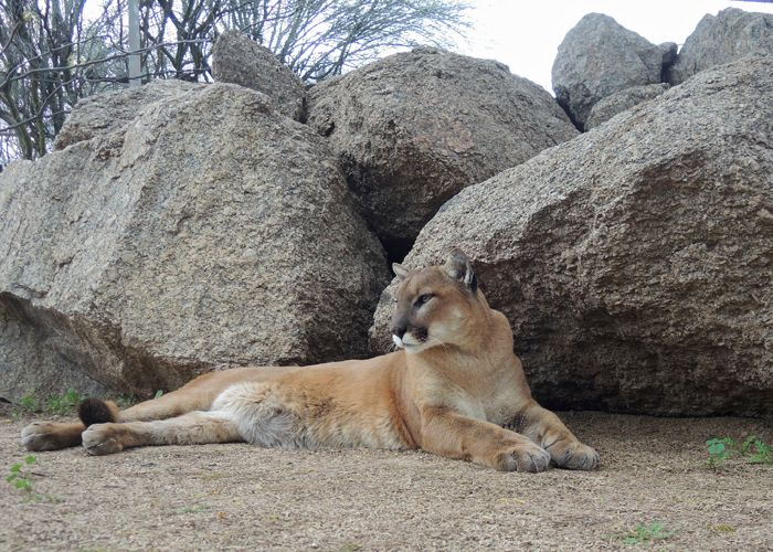 Mountain Lion in Repose