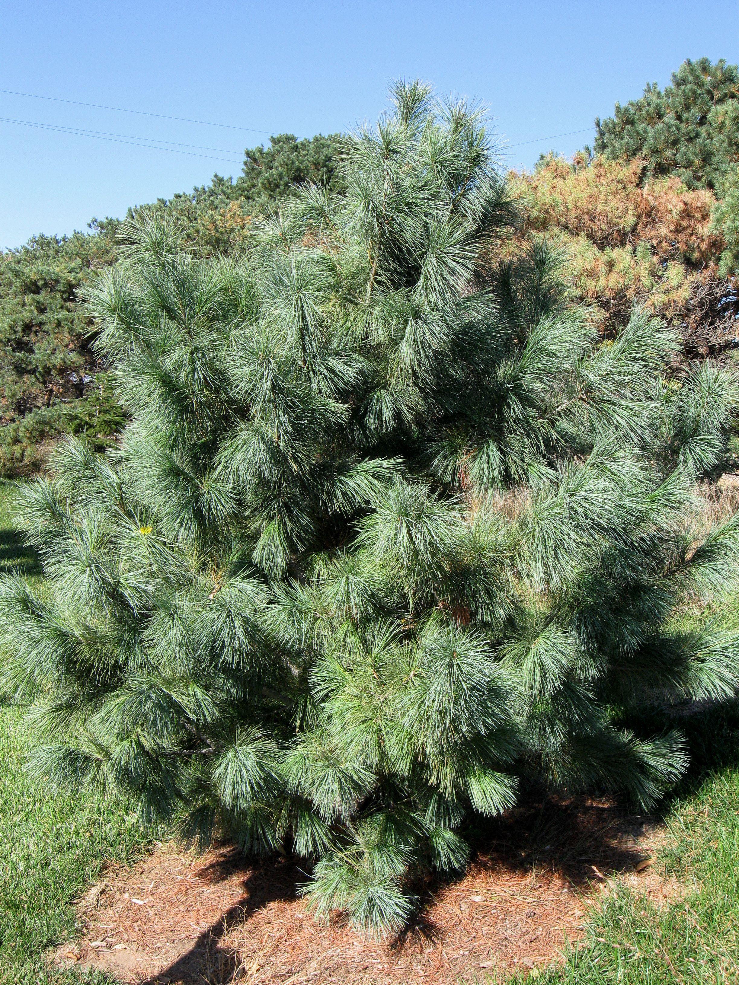 Domingo Pine, Pinus strobus x ayacahuite 'Domingo'