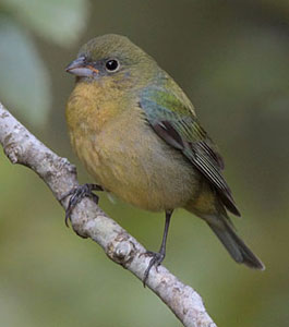 Juvenile painted bunting - photo#17