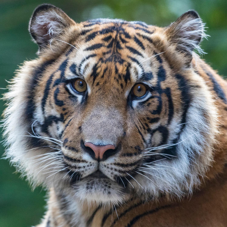 Kumar the Tiger