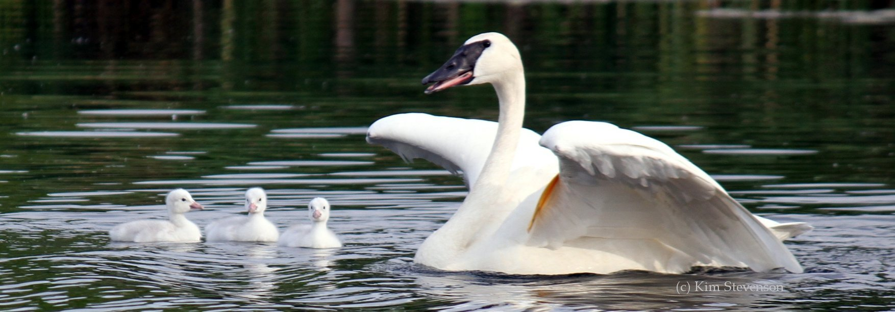 Your Adopt a Swan donation helps protect swan health and habitats