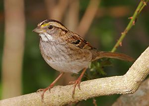 White-throated Sparrow (tan morph)