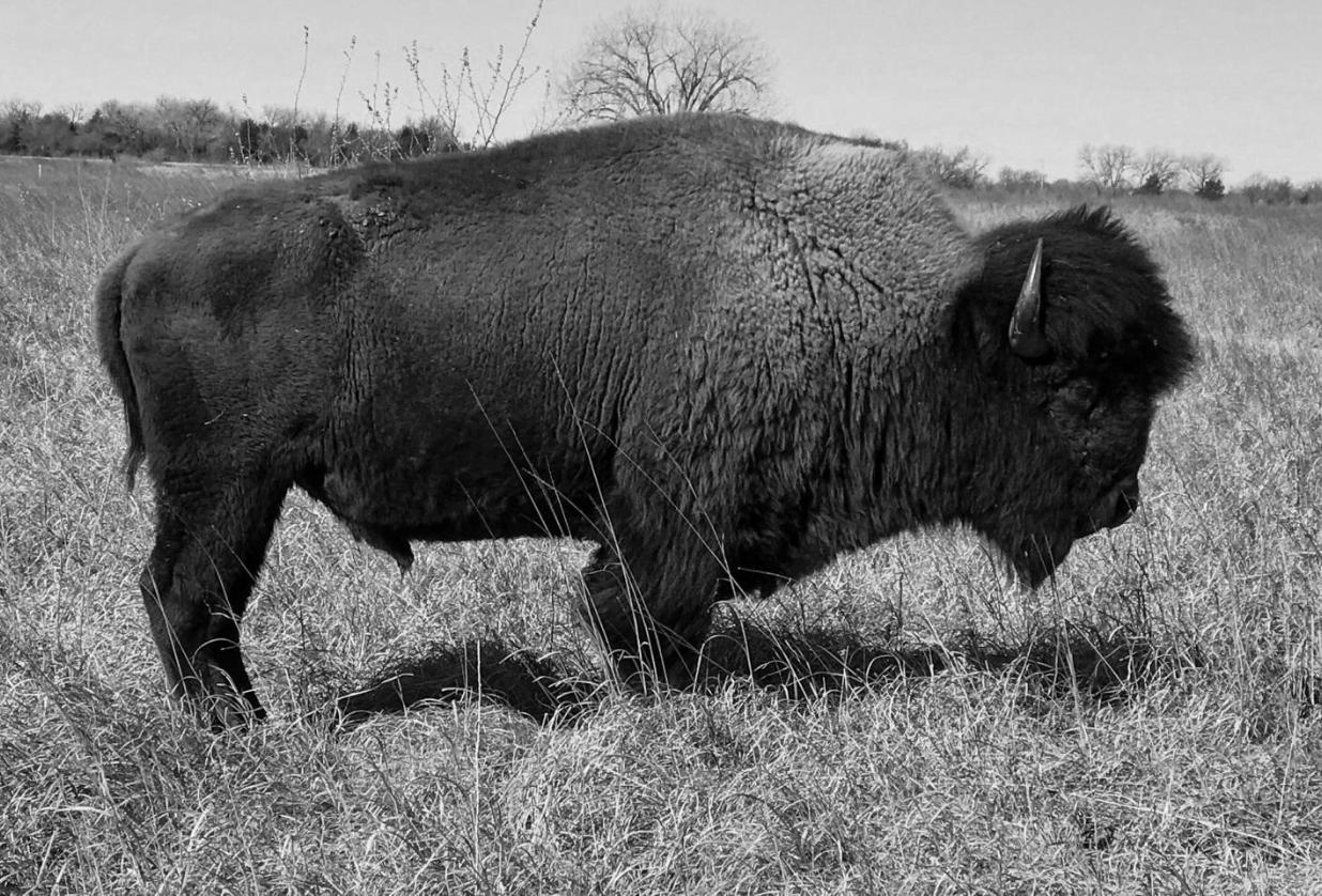 Bison History and Progress