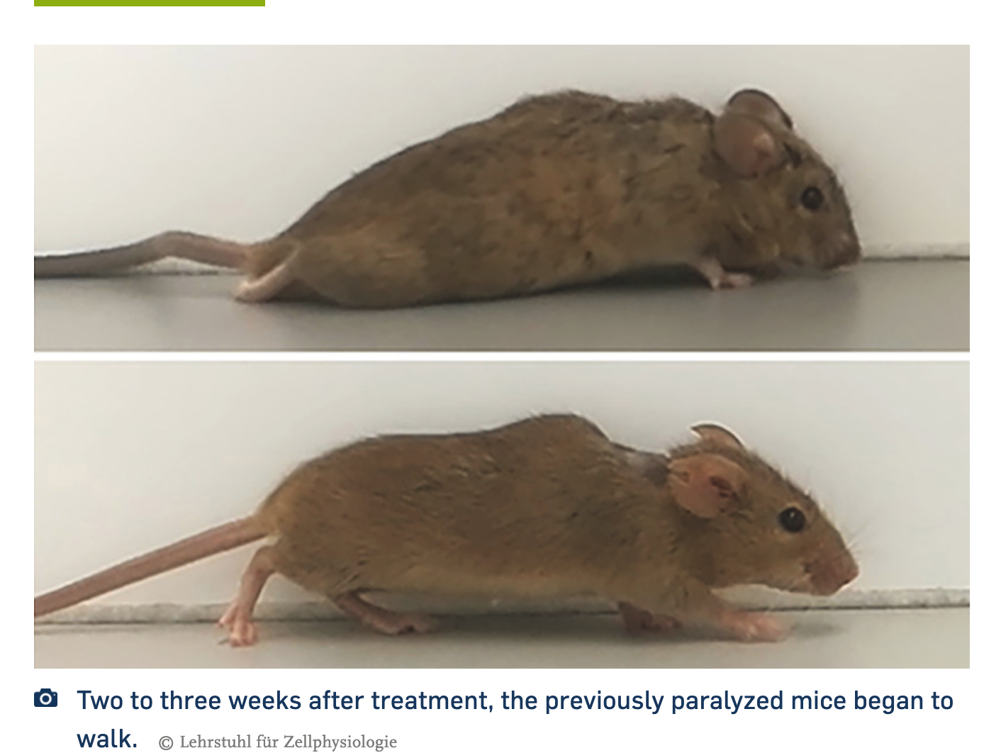 Headline Patrol: German Scientists Make Paralyzed Mice Walk Again