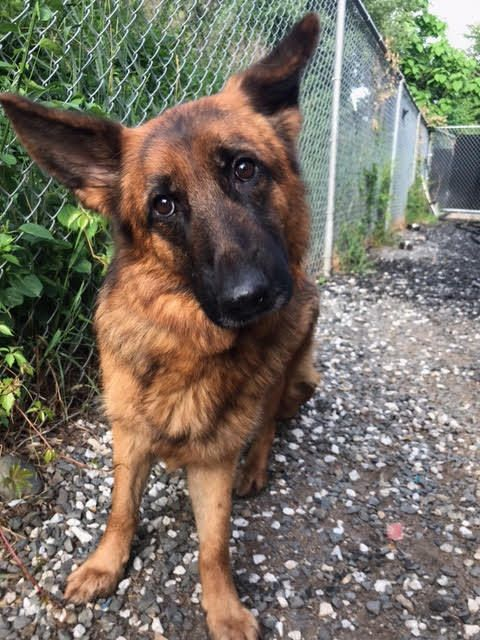 Abandoned German Shepherds found all over North Jersey (NorthJersey.com)