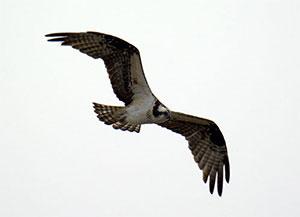 Osprey at Archbishop Fiorenza Park