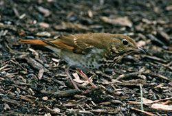 Beak of the Week: Hermit Thrush