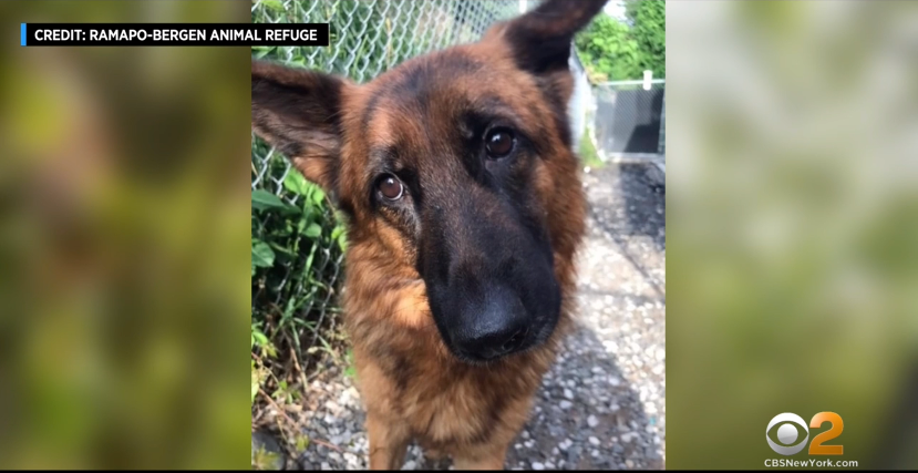 Officials: At Least 10 German Shepherds Found After Being Abandoned In New Jersey (CBS New York)