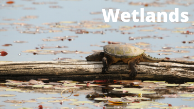 Audubon at Home: Wetlands