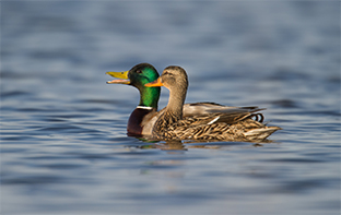 Fast Facts of the Annual Waterfowl Breeding Population and Habitat Survey