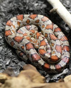 Candy the Corn Snake