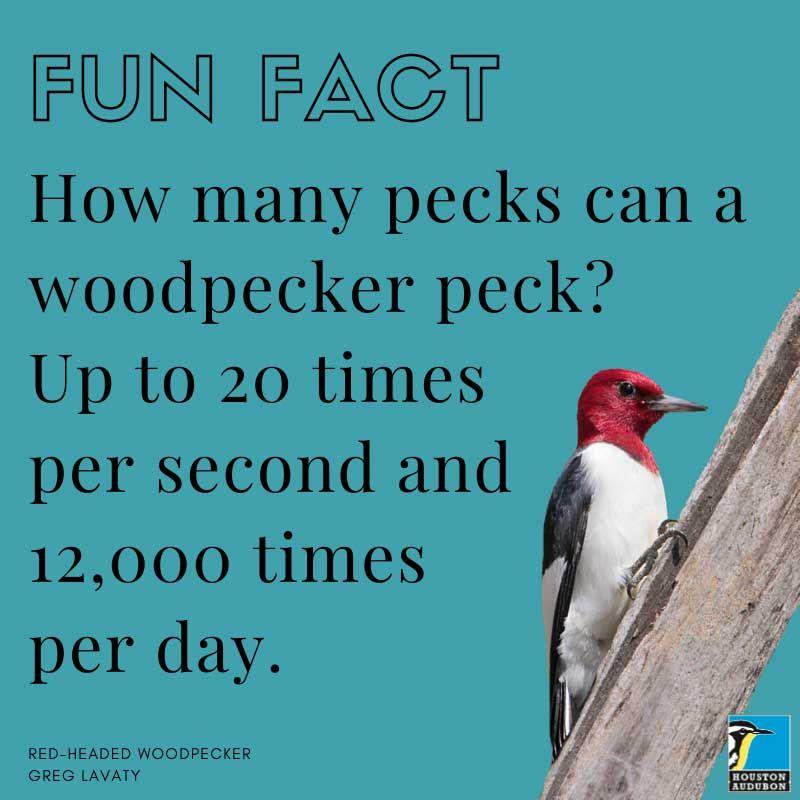 Woodpecker pecks fun fact