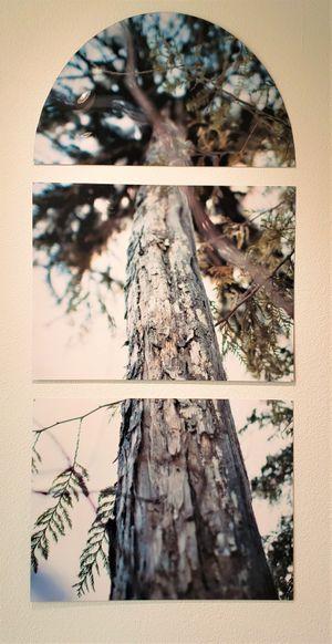 Whitman 21, Cedar