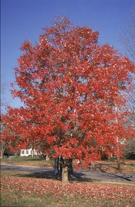 """Red Maple - Pack of 5 Seedlings (12""""-18"""")"""