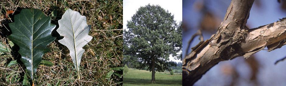 """Swamp White Oak Pack of 25 Seedlings (6""""-12"""")"""