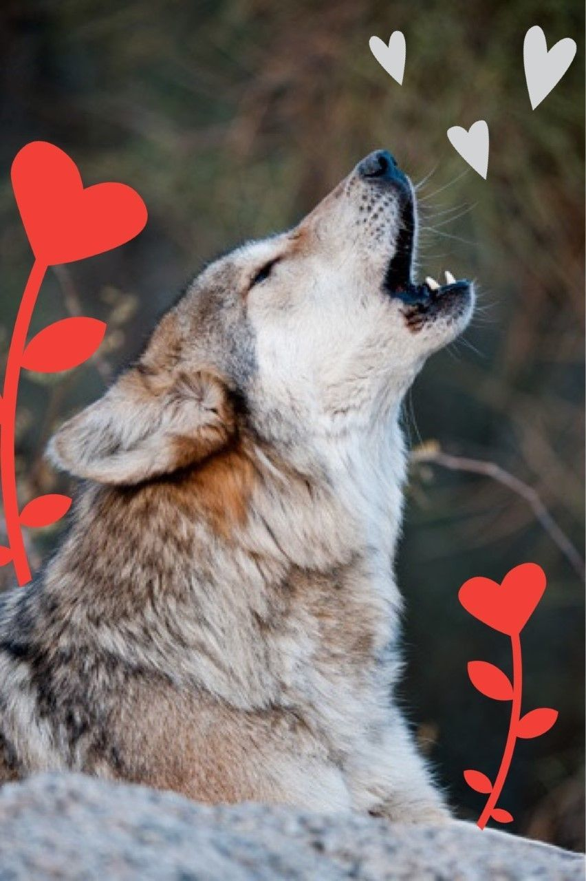 Mexican gray wolf howl