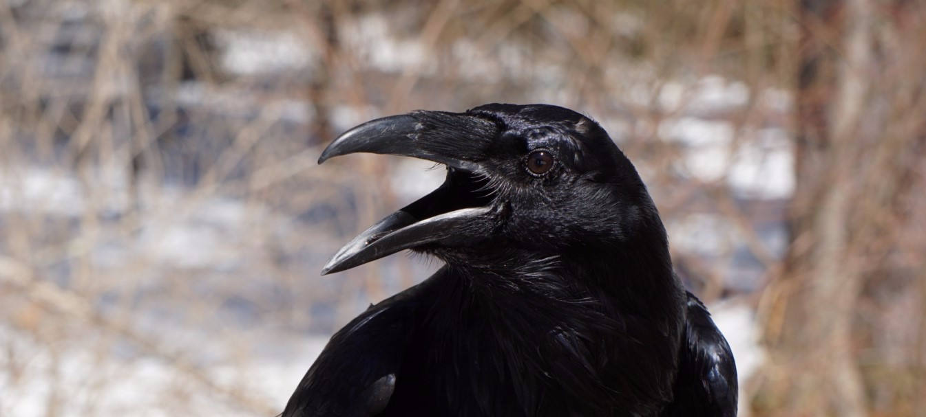 A Mischievous Raven Has Come to Roost