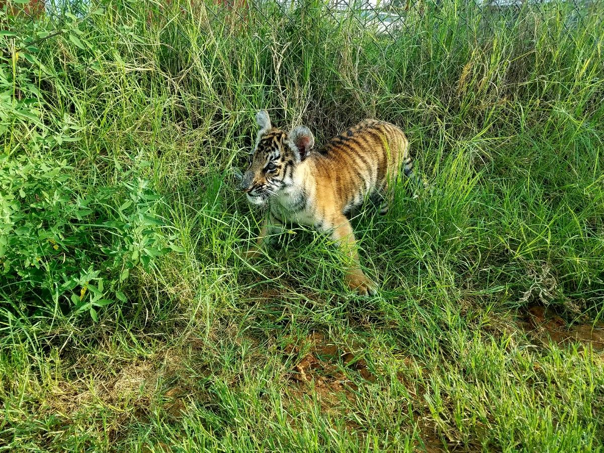 Zara the tiger cub