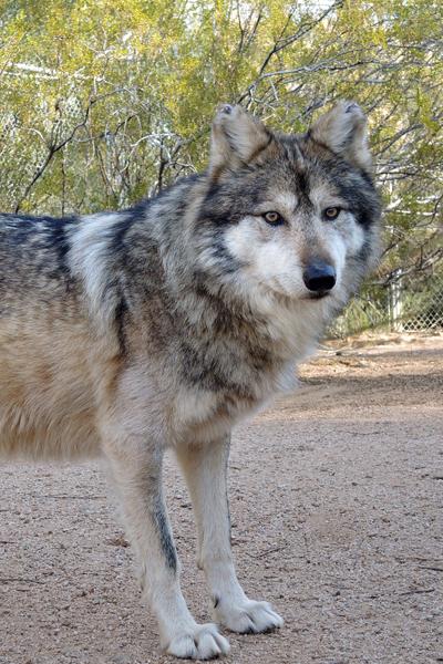 M888 Tivaci Mexican Gray Wolf Southwest Wildlife Scottsdale Arizona